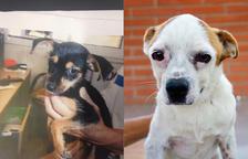Denuncien el robatori de dos gossos de petita dimensió a la Protectora de Tarragona