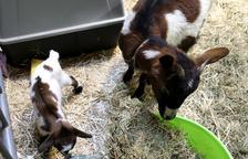 El 8è Bestial assisteix al naixement d'una cabra que es dirà Fira