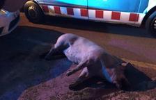 Un camioner perd un porc a Vila-seca i se n'adona més de tres hores després