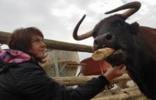 Mobilització ciutadana per evitar el sacrifici de la vaca tortosina Margarita