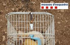Els Mossos d'Esquadra denuncien un home al Montsià per caçar amb fures sense llicència