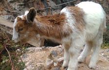 Un exemplar únic de cabra de quatre banyes viu a un centre de Farena