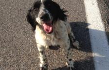 Es troba un gos abandonat i «fet pols» enmig de la carretera a Vallmoll
