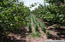 Detinguts a Valls per cultivar 4.500 plantes de marihuana en un camp d'avellaners abandonat