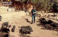 Troben a Cunit 32 porcs vietnamites en unes condicions pèssimes