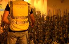 Desmantellada una plantació de 1.600 plantes de Marihuana a la Bisbal del Penedés