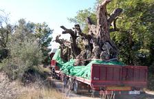 Cerca de 100.000 firmas piden detener el espolio de los olivos milenarios en Cataluña