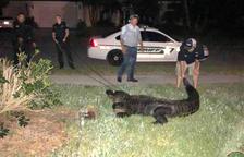 Un cocodril de més de 3 metres provoca el pànic en una piscina de Florida