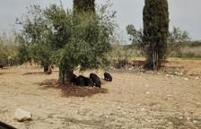 Els porcs vietnamites es passegen prop de Coma-ruga