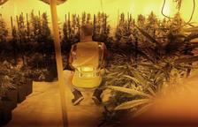 Desmantellada una plantació de marihuana al Vendrell