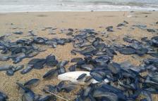 La platja de Coma-ruga apareix plena de Velelles