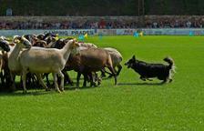 El XXXI Concurs de gossos d'atura torna aquest diumenge a Prades