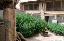 Avisen als Mossos per un intent de robatori i acaben descobrint una plantació de marihuana