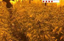 Intervenen gairebé 4.000 plantes de marihuana a diversos pobles de la Ribera d'Ebre