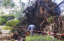 La UB estudia el fenomen que va abatre més de 200 pins als Pallaresos