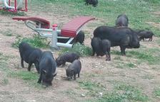 Una desena de porcs vietnamites es deixen veure per Sant Pere i Sant Pau