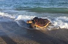 Atenen més de 60 tortugues marines capturades accidentalment per pescadors de l'Ebre