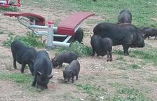 El Ayuntamiento hará un corral provisional para cerrar los cerdos vietnamitas de SPiSP