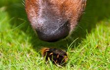 Torna l'època de l'eruga processionària: un perill pel nostre gos