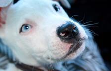 Què hi ha darrere de l'estigmatització dels gossos PPP?