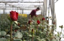 Los floricultores prevén un Sant Jordi de récord por la coincidencia con la campaña del 28-A