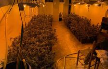 Desmantelan una plantación de 364 plantas de marihuana en Torredembarra