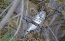 Investiguen una nova mort massiva de peixos a la desembocadura del Foix