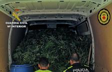Desmantellen una plantació de prop de 1.300 plantes de marihuana a Ulldecona