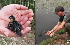 Rescaten uns pollets d'ànec que no podien sortir d'un canal del Delta de l'Ebre