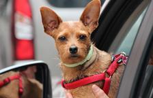 Què fer si trobem un gos tancat al cotxe?