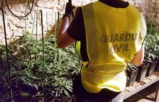 Detenen un matrimoni per cultivar més de 500 plantes de marihuana a Tivissa