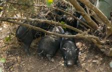 Nova Eucària intervé per evitar els sacrifici d'una colònia de porcs vietnamites a Torredembarra