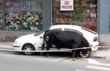 Un bou envesteix un vehicle durant la celebració del Bou Capllaçat a Amposta