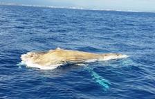 Localitzen un cetaci mort prop de la platja Cristall de Miami Platja