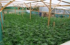 Dos detinguts per cultivar unes 1.800 plantes de marihuana a la Bisbal del Penedès
