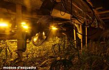 L'operació policial a Santa Bàrbara acaba amb més de 1.300 plantes de marihuana decomissades