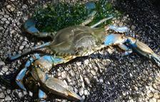 Preocupació per l'augment de la població de cranc blau a la platja de Tamarit