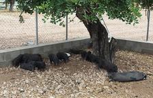 FAADA assegura que els porcs vietnamites estan «en perfectes condicions» al refugi de la Bassa