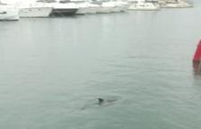 Troben un dofí atrapat al port de Salou