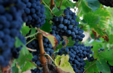 La cosecha de la uva DO Montsant baja un 10% con respecto al 2018