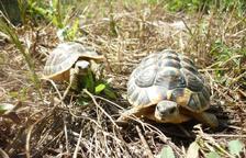 Las tortugas repueblan el Montsant
