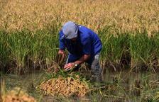 La collita de l'arròs es manté estable pel bon rendiment de varietats com el Bomba i JSendra